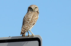 "The ""Look"" -- Burrowing Owl (Athene cunicularia); Los Lunas, NM [Lou Feltz] (deserttoad) Tags: nature newmexico bird wildbird raptor owl owlet desert behavior migration"