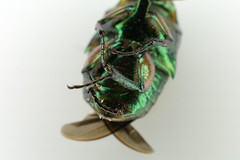 DSC_9408 (lostinbeta) Tags: green june beetle cotinus nitida iridescent bright colour color colourful colorful wing bug insect macro