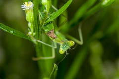 A mantis nymph (Yunhyok Choi) Tags: mantis nymph macro closeup insect hwaseongsi gyeonggido southkorea