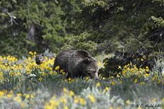 Grizzly Blondie and a curious cub (V. C. Wald) Tags: ursusarctoshorribilis grizzlybear grandtetonnationalpark tamronsp150600f563divcusdg2 bokeh