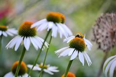 Summertime (KaDeWeGirl) Tags: newyorkcity manhattan conservatory garden centralpark coneflowers flowers bee summer