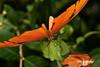Miss Julia Butterfly (mjcarsonphoto) Tags: millernaturepreserve butterfly juliabutterfly