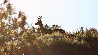 Ridge Deer