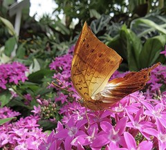 Exotic Beauty (Feathering the Nest) Tags: butterfly rhs tattonpark flowershow butterflydome summer july 2017