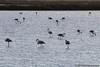 face-IMG_4317 (José C@rlota) Tags: flamingos birds phoenicopterus roseus