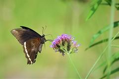 IMGP2835 (Pomerol) Tags: 300mm pentax vert k5 animal nature papillon macro da green butterfly beauty couleur insecte wildlife color bokeh