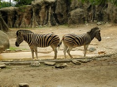 Burchell's zebra (Nemoleon) Tags: philadelphiazoo july 2017 burchellszebra equusquagga dscn4650