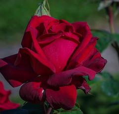 Burgundy rose (frankmh) Tags: plant flower rose burgundyrose krapperupcastlegarden skåne sweden outdoor macro garden