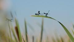 DSCF6168_ (faki_) Tags: fuji fujifilm xe1 vivitar135mmf28autotelephotoclosefocusing vivitar 135 28 sooc ooc astia rovar insect szitakötő dragonfly