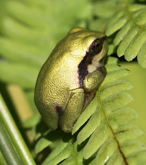 just lost its tail (bugman11) Tags: hylaarborea boomkikker frog frogs amphibian amphibians animal animals fauna green canon macro 100mm28lmacro nature amsterdamsewaterleidingduinen nederland thenetherlands