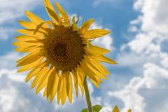 girasole sotto il cielo (Mancio85) Tags: girasole sunflower sky cielo nuvole clouds yellow giallo estate summer toscana tuscany canon 80d blue azzurro