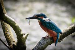 Pennington Kingfisher (1 of 1) (J Bloggs UK) Tags: kingfisher bird fishing water nature wildlife outdoors penningtonpark