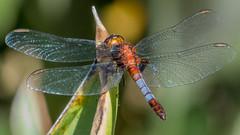 Erythrodiplax abjecta (Rambur, 1842) ♂ (PriscillaBurcher) Tags: erythrodiplaxabjecta erythrodiplax odonata dragonfly dragonflies dragonlet skimmer libélula libellulidae laceja colombia priscillaburcher l1340513