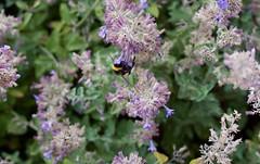 fullsizeoutput_977c (Fan Majie 範瑪姐) Tags: bumblebee mimicry lavendel bugs