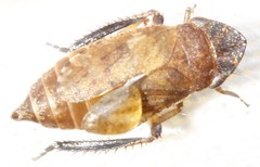 indet cicadellidae (BSCG (Badenoch and Strathspey Conservation Group)) Tags: acm insect hemiptera cicadellidae deformed hopper