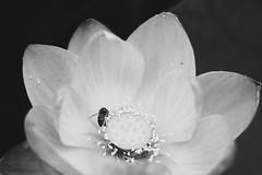 (Camila Iquiene) Tags: flower lotus bee nature 蓮華 ハチ 自然 花 kojindani blackandwhite bw 白黒 白黒写真