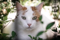 Sunny days (katjacarmel) Tags: sunny sun zomer summer portrait gato chat dier kat poes cute eyes green orange nature bokeh white portret huisdier pet outside plant weather day garden