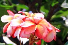 150331 Plumeria bella, Laem Chabang, Thaïlande (Christian Chene Tahiti) Tags: canon 7d plumeria jardin nongnooch travel pattaya voyage thaïland tipanier frangipanier frangipane tipanie orange rose rouge thaïlande fleur flower flor flores plante extérieur tropicalgarden laemchabang