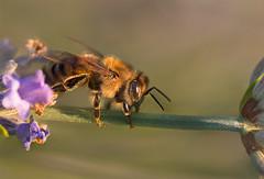 (piero_zampa) Tags: macro macrophotography macrofotografia ape bee insetti insect animali allaperto nikon tokina