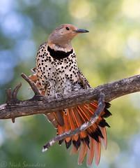 Northern Flicker (Nick Saunders) Tags: northernflicker flicker woodpecker hybrid intergrade feathers spread wings wingspread stretch bird birds birding saskatchewan valmarie canada female
