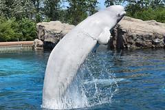 DSC_0852 (Megakillerwhales) Tags: megakillerwales marineland marinelandcanada marinelandontario marinelandfrance loroparque seaworld seaworldsandiego seaworldorlando seaworldsanantonio aquarium zoo sandiegozoo sandiego disney killerwhale killerwhales orca orcas orcawhale orcawhales beluga belugas belugawhale belugawhales dolphin dolphins whale whales animal animals zookeeper kiska tillikum lolita shamu shamushow shamurocks shamulightupthenight shamuscelebration nature world earth planet sea ocean life nationalgeaographic discoverychannel disneynature bbcearth bbcnature animalcloseups animalphotography wildlife wildlifephotography kshamenk water nikond3400 nikon photography show orcashow dolphinshow disneyland