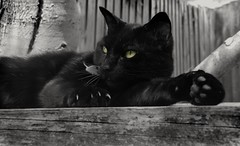 Whoever said 'it's a Dog's life' had not met a Cat before (Gareth Priest) Tags: cat bw selectivecolour mood atmosphere tones shade eyes