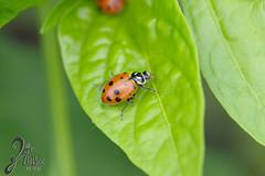 Macro-LadyBugs_57 (ZieBee Media) Tags: ladybug garden