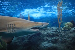 SHARK! (flutterbye216) Tags: shark maneater monster scary teeth swim water aquarium tampa florida