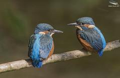 Juvenile Kingfishers (Mick Erwin) Tags: kingfisher fledglings juvenile nikon afs 600mm f4e fl ed vr lens d810 mick erwin stoke trent staffordshire wildlife nature cheshire
