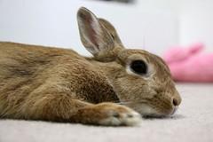 Ichigo san 800 (Ichigo Miyama) Tags: いちごさん。うさぎ ichigo san rabbitbunny netherlanddwarf brown ネザーランドドワーフ ペット いちご うさぎ rabbit