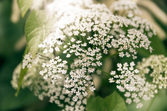 White and green (mirri_inc) Tags: green white flowers fragile summer closeup bokeh