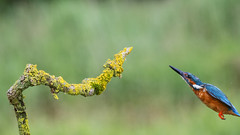 No fish this time (Margaret S.S) Tags: bird inflight common kingfisher male alcedo atthis