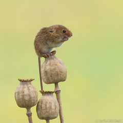 A wee harvest mouse (Sue MacCallum-Stewart) Tags: harvestmouse deanmason mice mouse rodent tiny seedheads specanimal