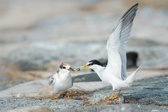 Little Tern feeding (BP Chua) Tags: bird nature wild wildlife animal tern littletern feeding juvi juvenile parent feed singapore shore parentlove nikon d750 600mm asia