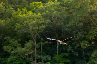 Great Blue Heron over Canty's Lake