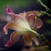Beauty on a Drab Day (Singing Like Cicadas) Tags: 2017 summer flower lily outmywindow outmydoor home garden rain mogadore summitcounty onethousandgifts petals droplets light contrast