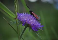 zygène (bulbocode909) Tags: zygènes insectes nature montagnes papillons fleurs herbe vert rouge valais suisse valdanniviers