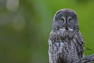 Great Gray Owl - 1277b+