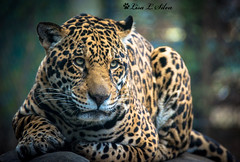 Jaguar -Explored (Silva's Aragorn1229) Tags: jaguar chattanooga zoo cat feline endangered exotic threatened conservation spotted portrait animal wildlife nature carnivore nikond5200 beauty laying staring explored explore
