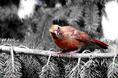 Juvenile Northern Cardinal (Selective Color) (Anne Ahearne) Tags: cardinal red bird birds nature wildlife animal animals juvenile fledgling