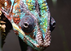 Panther chameleon (Furcifer pardalis) (gillybooze) Tags: ©allrightsreserved reptile animal lizzard chameleon onblack pantherchameleon