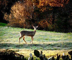 Alert (malcolmharris64) Tags: austin texas greenbelt deer coyotes cacti wildlife