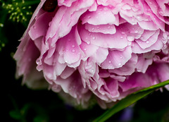 after rain (pt. 2) (marinachi) Tags: pink plant peony rain raindrops green drops water garden flower closeup