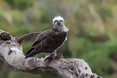 The famous Osprey (BlueberryAsh) Tags: osprey werribeeriver kroad raptor birdofprey raptorfeeding bird easternosprey pandionhaliaetus tamron150600 nikond750
