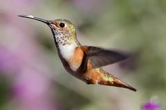 Free (Life of David) Tags: bird hummingbird 5dmarkiv canon5dmarkiv canon5div nature summer vogel oiseau uccello pájaro pássaro world100f