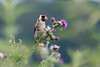 Goldfinch  |  Stieglitz (CJH Natural) Tags: goldfinch stieglitz finch bird vogel avian thistle bokeh eating feeding mess purple green red nature natural wild wildlife christopherharrisorg outdoors