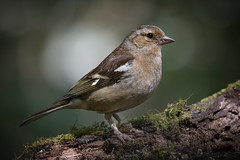 Chaffinch (Mr F1) Tags: chaffinch bird johnfanning outdoors nature finch detail feathers light woodland wild