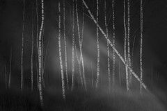 echoes IV (Mindaugas Buivydas) Tags: lietuva lithuania bw forest tree trees birch dark darkness mood moody spring march whiteinblack echoes mindaugasbuivydas