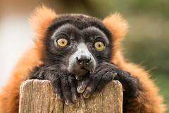 2017-08-01-14h07m51.BL7R7009 (A.J. Haverkamp) Tags: canonef100400mmf4556lisiiusmlens amsterdam noordholland netherlands zoo dierentuin httpwwwartisnl artis thenetherlands lemurenland lemurland vari lemur nl