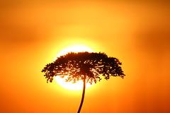 Like an African tree (Sven Bonorden) Tags: wildpflanzen pflanze plant silhouette sun sunset sundown sonne sonnenuntergang gegenlicht gelb yellow orange shadow schatten licht light backlight germany deutschland dortmund nordrheinwestfalen westfalen groppenbruch haldegroppenbruch mengede abend evening canon